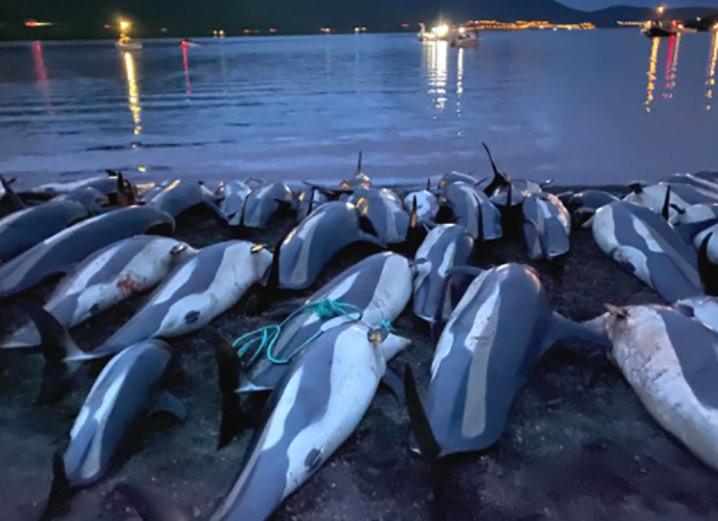 Bangkai lumba-lumba Atlantik (Atlantic White-Sided Dolphins) yang tergeletak di pantai Pulau Eysturoy setelah dibantai warga Kepulauan Faroe. Lumba-lumba ini bagian dari jumlag 1.428 yang dibantai. FOTO: SEA SHEPHERD