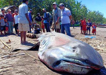Ikan hiu mulut besar atau Megamouth shark dengan nama ilmiah Megachasma pelagios ditemukan terdampar dalam kondisi mati di Flores Timur, Nusa Tenggara Timur. FOTO: KKP