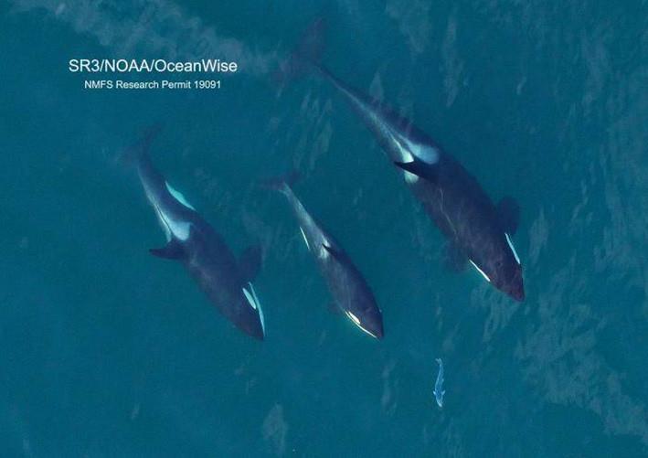 Foto sekelompok paus pembunuh penduduk Selatan saat mengejar ikan salmon yang dikumpulkan selama penelitian kesehatan dengan drone terbang non-invasif dengan ketinggian di atas 100 kaki. Penelitian disahkan oleh izin NMFS #19091. FOTO: VIA SANJUANJOURNAL.COM