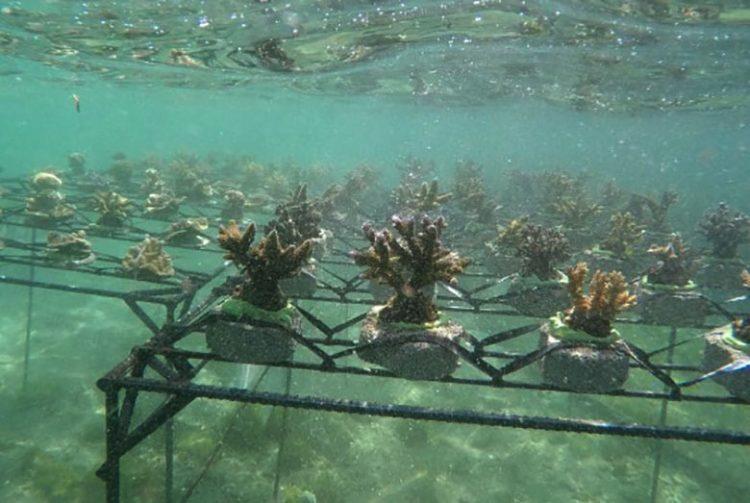 Restocking karang hias. FOTO: KLHK