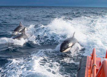 Sebuah foto Maritime Rescue Services menunjukkan paus pembunuh (Orca) sedang mengejar perahu Spanish Maritime Rescue Services di Selat Gibraltar, Spanyol.  FOTO VIA TN.COM.AR