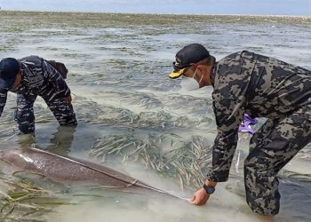Sebelum dilepas kembali ke perairan Tolitoli, petugas melakukan pengukuran data morfometrik. FOTO: KKP